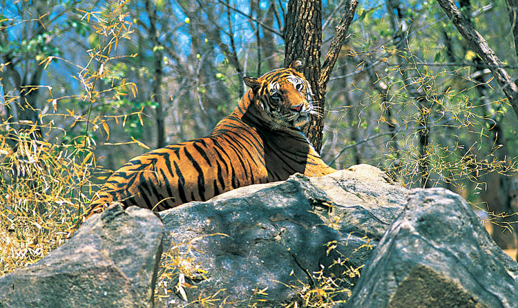 tiger in Wayanad Wildlife Sanctuary