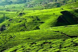 Tea plantation landscape. Munnar, Kerala, India. Nature background
