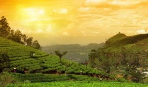 a view of tea garden in munnar
