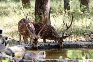 deers and monkeys drinking water