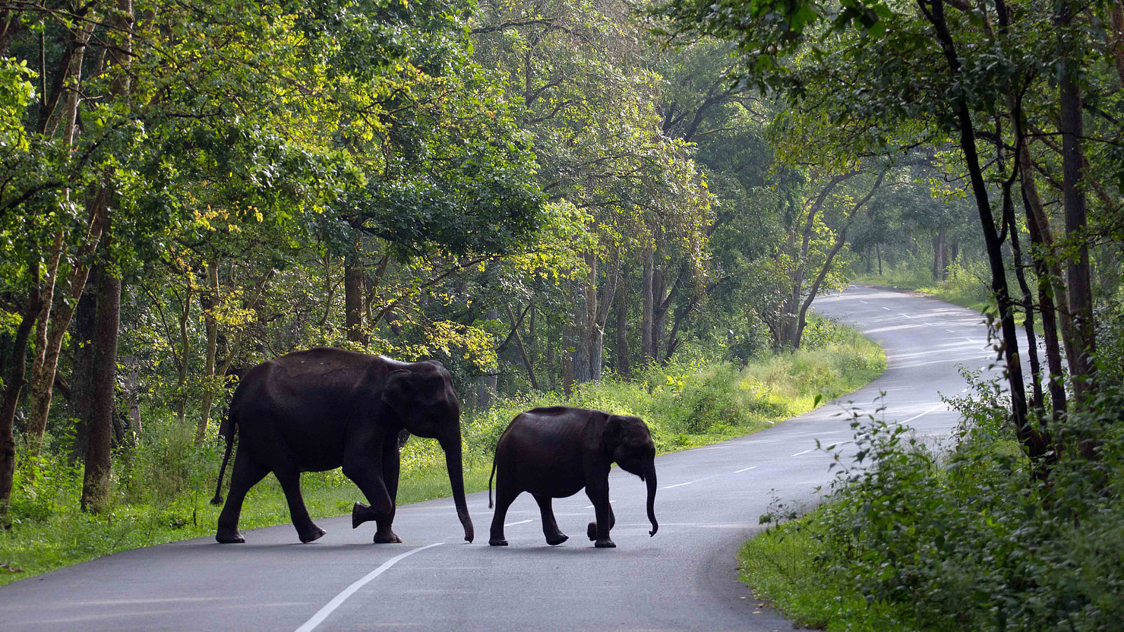 two elephants crossing a road in wayanad