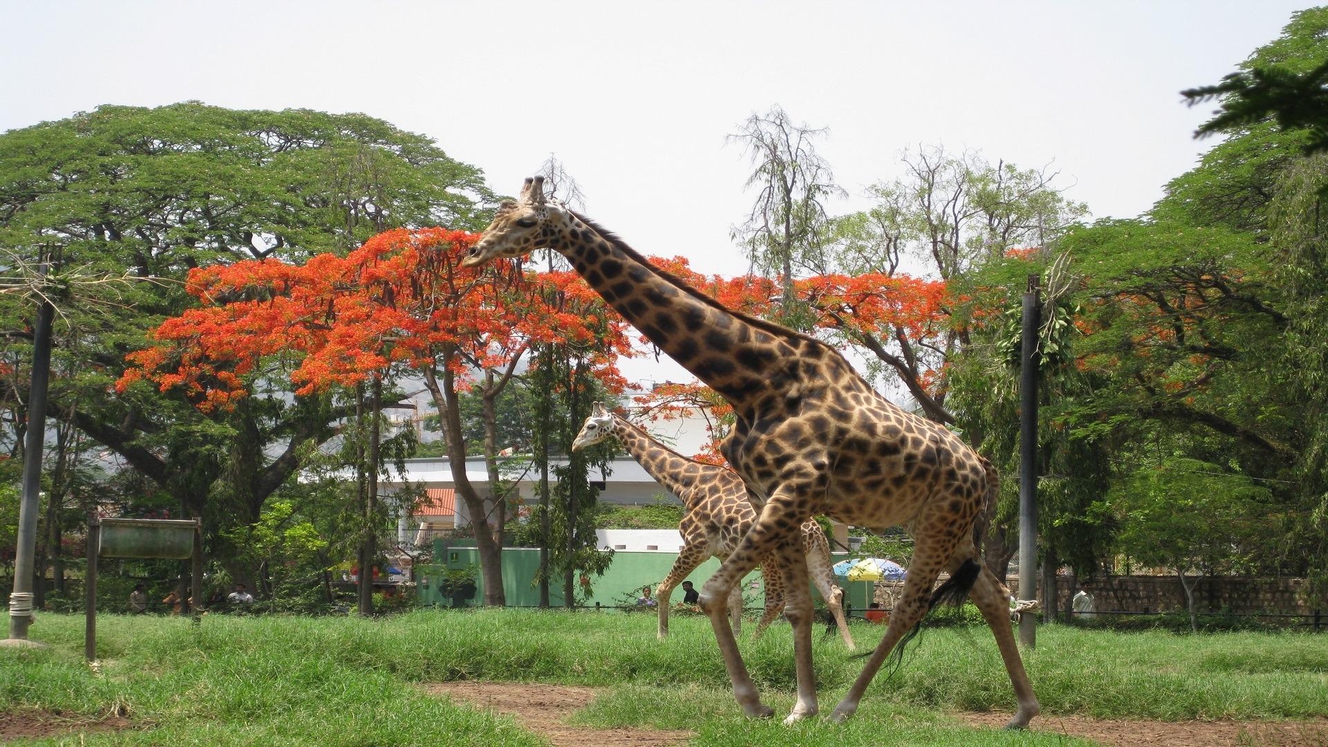 two giraffe walking in a garden