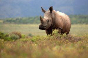 rhinoceros walking