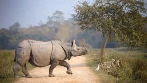 rhinoceros crossing the road of a jungle