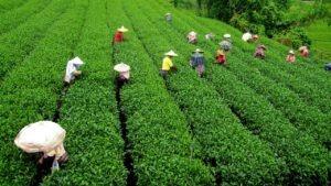 people farming in tea garden