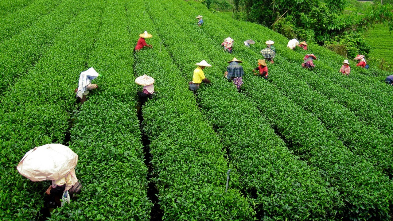 people farming in tea garden